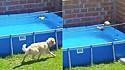 Cão salva pássaro de se afogar na piscina.