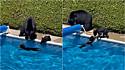 Família de urso invade residência em dia escaldante para curtir a piscina.