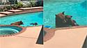 Ursos invadem residência californiana para se refrescarem.