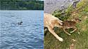 Goldendoodle resgata cervo bebê do meio do lago em Virgínia, Estados Unidos.