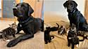 Labrador ajuda a cuidar de uma ninhada de gatos em lar temporário.