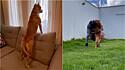 Pit bull tem reação adorável ao rever seu dono depois de 10 dias.