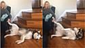 Husky siberiano é flagrado exigindo carinho da tutora.
