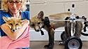 Raposa paraplégica ganha cadeiras de rodas e vive seus melhores dias.