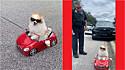 Lulu da Pomerânia é parado por policial por dirigir carro sem emplacamento.