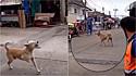 Cão finge ter pata quebrada para ganhar comida e carinho de transeuntes.