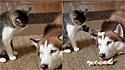 Gato implica com o seu irmão husky siberiano para testar a sua paciência.