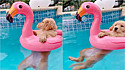 Filhote de golden retriever é flagrado aproveitando dia de sol na piscina.