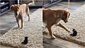 O encontro de um golden retriever com o seu irmão felino é adorável.