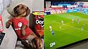 Dachshund vestido com a camiseta do seu time do coração assiste jogo de futebol.