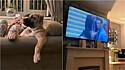 Cão foi flagrado curtindo jogo de futebol sentado no sofá da sala.