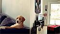 Cão é flagrado assistindo televisão no sofá da sala.
