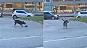Cachorro é vista carregando enxada na boca em rua movimentada de Santa Catarina.