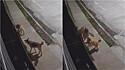 Cães saem para a rua e câmera flagra momento em que um ajuda o outro a entrar dentro de casa.