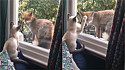 Gato e raposa interagem pela janela.