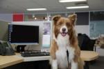 Cachorros no ambiente de trabalho aumentam a produtividade e diminuem estresse de funcionários