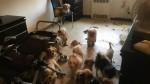 33 cães da raça Shih-tzu, abandonados, são encontrados pela polícia em apartamento em estado deplorável