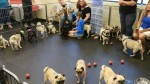 Cerca de 250 cães pugs fazem aniversário de menino autista virar realidade (VEJA O VÍDEO)