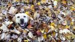 Esse vídeo dessa cachorra se jogando em folhas de outono melhorará seu dia