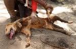 Veja 15 fotos dos cães heróis que atuam em Brumadinho