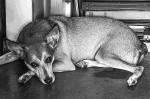 Relato emocionante sobre cão que teve seu rabinho cortado