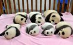 """A """"creche de pandas"""" existe e é o lugar mais adorável na face da terra (veja fotos)"""