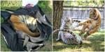 Impressionante: bebê de tigre é encontrado em mochila de contrabandista