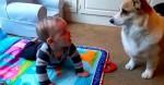 Cachorro Corgi não entende porquê mini humano não o persegue (veja o vídeo)