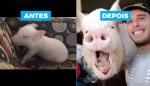 Casal achava que adotou mini-porca, mas 2 anos depois ela atinge 300 kg