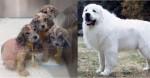 Rapaz salva e adota filhotes abandonados sem saber que eles são Cães da Montanha dos Pirineus