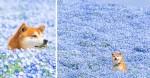 O ensaio de fotos desse cãozinho Shiba Inu tem feito o maior sucesso no Japão - e no resto do mundo