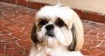Cãozinho Shih Tzu avisa que fez cocô e vídeo viraliza na internet - veja