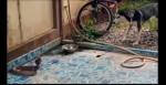 Dupla de cães enfrenta cobra invasora para defender a casa dos donos (veja o vídeo)