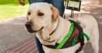 Motorista da Uber que se recusou a transportar cão-guia terá de pagar indenização
