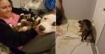 Pitbull recém-adotada coloca seus 11 filhotes no colo da mulher que a resgatou (veja o vídeo)