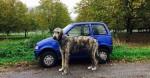 15 fotos de cair o queixo que mostram como os cães da raça Lébrel Irlandês são enormes