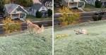 Golden Retriever viraliza na internet por adorar brincar de escorregar em morrinho (veja o vídeo)