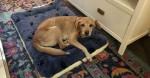 Cão que invadiu casa em silêncio às 4 horas da manhã é adotado por casal