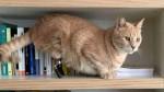 Gato que perdeu patas em acidente, ganha e se adapta a próteses e vira celebridade