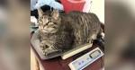 Gato rechonchudo pego em balança simboliza todos nós depois do feriadão