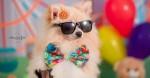 Ensaio de fotos de cão siptz de SP viraliza na web e animal vira 'blogueirinho'