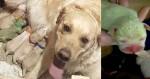 'Ovelha verde' da família: cadela golden retriever dá à luz a filhote esverdeado