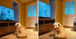 Em vídeo impagável, buldogue desvia o olhar e fica bravo durante cena do chuveiro de 'Psicose'; assista!