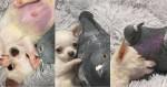 Viralizou: Pombo que não voa e Chihuahua que não anda se tornam amigos inseparáveis