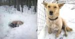 Cachorrinha  vira-lata cava buraco na neve para abrigar filhotes contra o frio