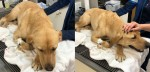 Cão labrador policial é picado por cobra ao procurar por bebê desaparecido