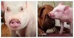 Cão de 61 kg faz linda (e improvável) amizade com porquinha de abrigo