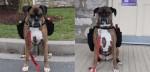 Cão boxer vira entregador de vinícola fechada por conta do coronavírus: 'Todos adoram ele'