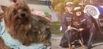 Cão yorkshire fica sozinho após donos serem hospitalizados com covid-19 e ONG o socorre