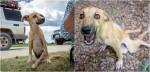 Vivendo sozinha na África, cadela paraplégica se arrasta até grupo de voluntários pedindo por ajuda